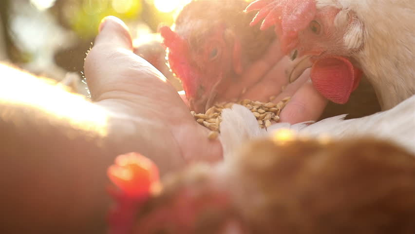 A men's hand feeds a chicken in the yard