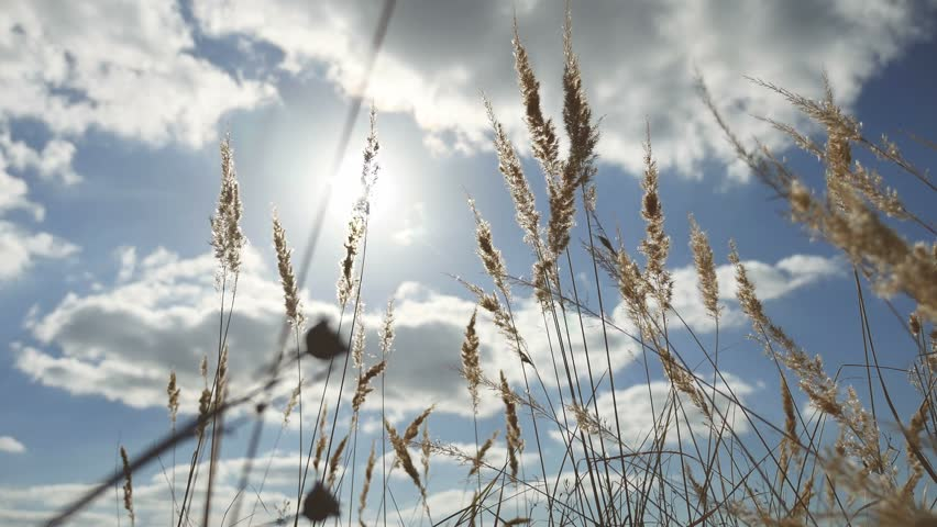 dry grass field background. Dry Grass On Background Of Blue Sky In The Ears Nature Landscape - 4K Stock Field