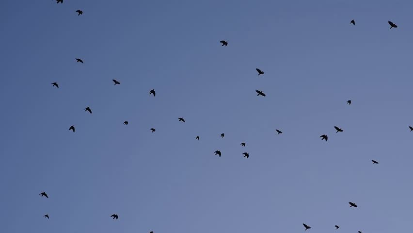 Stock Video Clip Of A Flock Of Black Birds Crows Flying Shutterstock