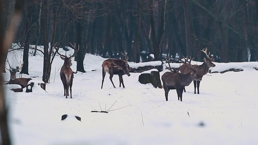 Winter forest landscape male deer with big horns #22742140