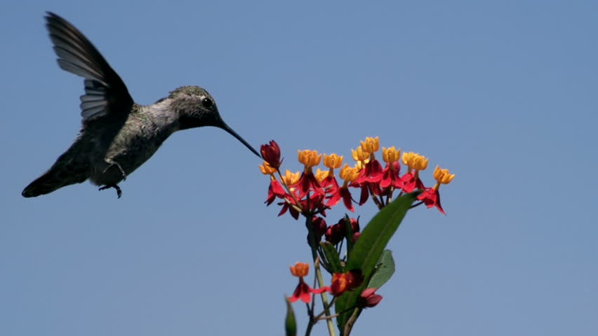 Hummingbird Feeding On Milkweed Flowers Slow Motion 3000fps | Shutterstock HD Video #22763920