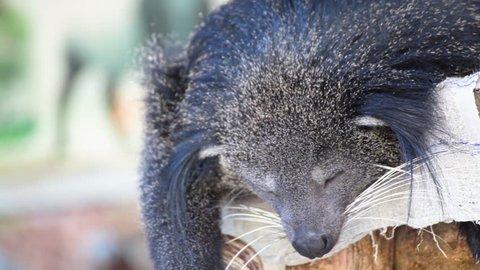 Arctictis binturong or Bearcat, sleeping on the tree