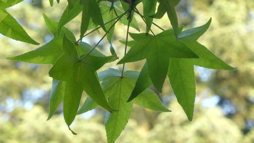 Liquidambar styraciflua, called American sweetgum, sweet gum, sweet-gum (sweet gum), hazel pine, American-storax, bilsted, red-gum, satin-walnut, star-leaved gum, or alligator-wood, genus Liquidambar.