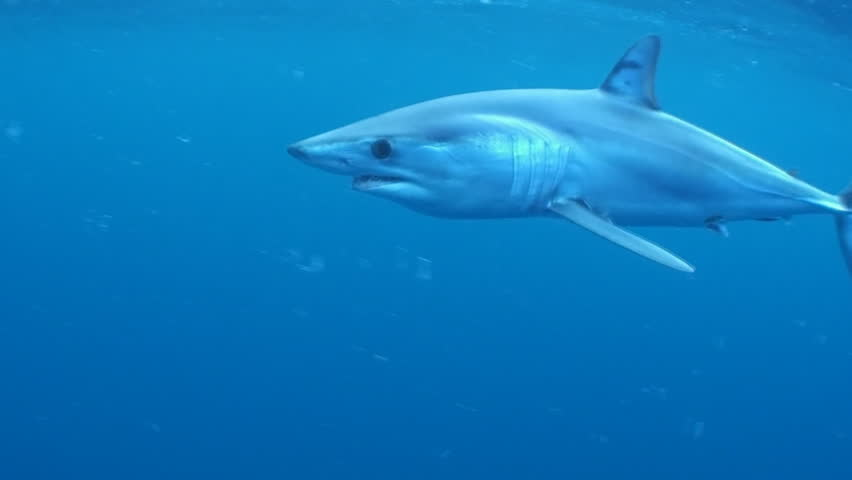 Mako shark swimming in blue water near the surface about 50 kilometres offshore past Western Cape South Africa. Short fin mako shark.