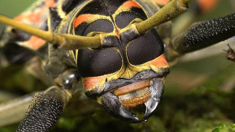 Close-up of the head of a Harlequin Beetle (Acrocinus longimanus) showing compound eyes and mandibles.. A large beetle from the Amazon, known for carrying pseudoscorpions and mites under the elytra.
