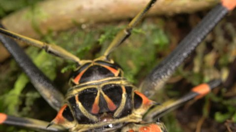 Tilt down a female Harlequin Beetle (Acrocinus longimanus). A very large beetle from the Amazon, well known for carrying pseudoscorpions and mites under the elytra. Mites are running over its body.