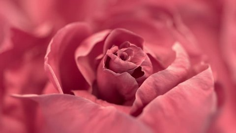 Close up of opening pink rose, blooming pink roses, beautiful 3d animation