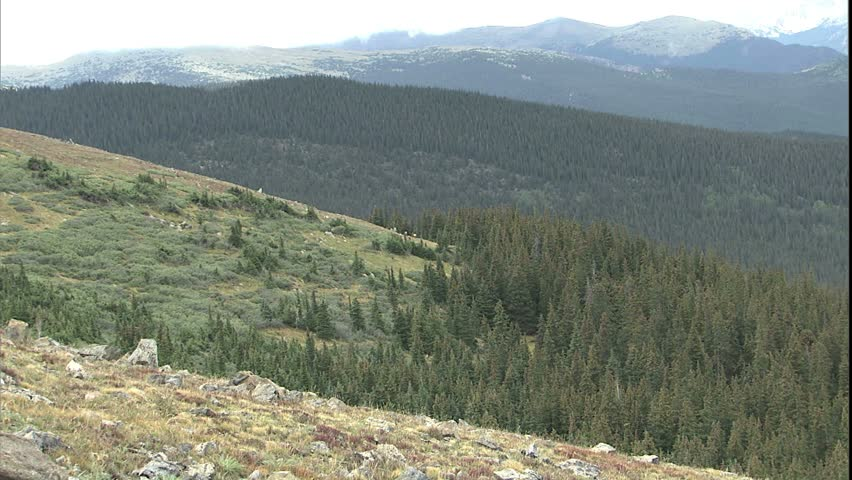 Rocky Mountains zooming to elk grazing in mountain meadow on mt. Evans, Colorado