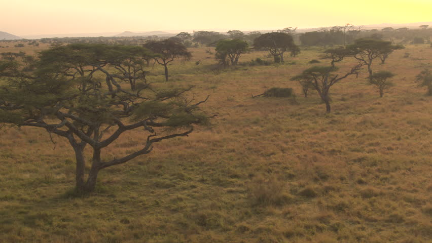 AERIAL, CLOSE UP: Flying above lush acacia trees scattered around endless short grass savannah grassland landscape in Serengeti national park. Spectacular scenery at golden light of dawn in wilderness