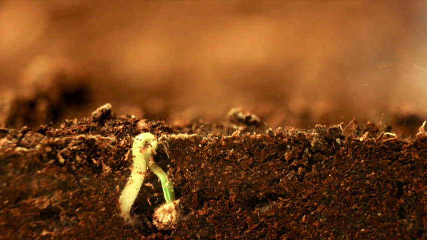 Plant growing. Seed growing from soil. Underground and overground view.