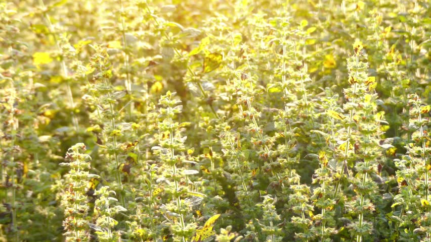 Lemon balm (Melissa officinalis), balm, common balm, or balm mint, is perennial herbaceous plant in mint family Lamiaceae and native to south-central Europe, Iran, and Central Asia.