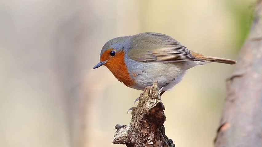 Robin in Ironwood. Spring. | Shutterstock HD Video #23173120