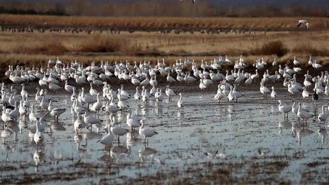 Snow Geese Fly Off - Hundreds of snow geese launch and fly off from the roosting ponds after sunrise in search of breakfast. Bosque del Apache, New Mexico.
