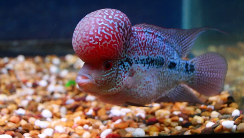 Flowerhorn cichlid crossbreed fish good color red pearl cross head flowerhorn cichlid crossbreed fish good color red pearl cross head in aquarium tank water with blue background stock footage video 23186980 shutterstock voltagebd Gallery