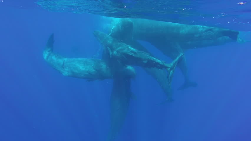 A pod of sperm whale calves socializing on the surface in the tropical waters off the coast of Mauritius.