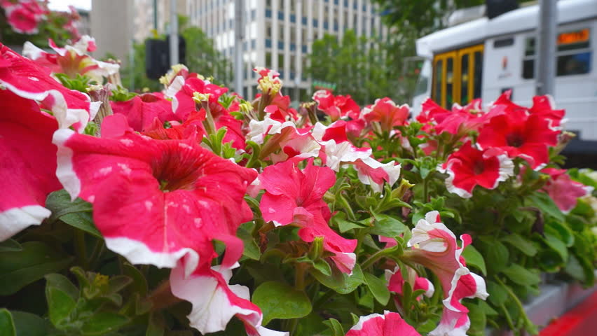 Colorful petunia flowers with people, trams and car traffic on the background. Melbourne city life   Shutterstock HD Video #23324038