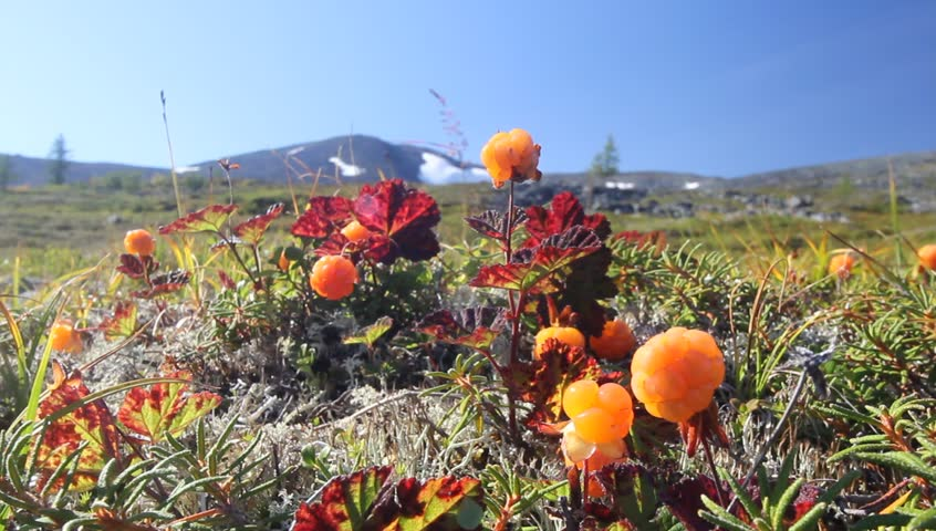 Cloudberry in the mountains. Urals, July. Landscape.