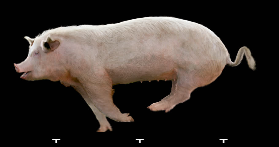 Pig gallop runs. Animation is cyclic and isolated. Alpha channel.   Shutterstock HD Video #23346148