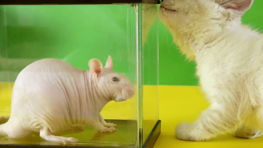 Rat vs Kitten (HD)  Hairless rat looking around inside a glass cage while kitten is interested in it.