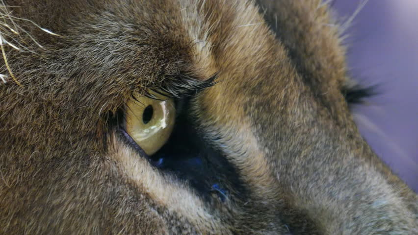 close up of a male lion's eye