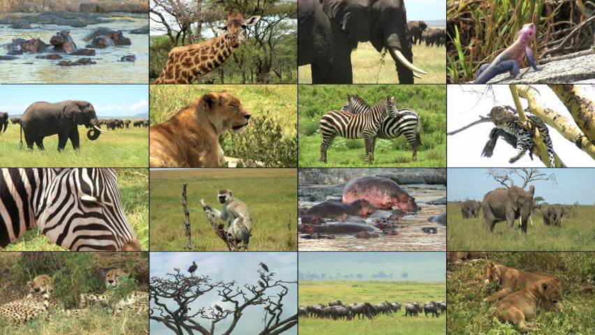 Montage of Safari Wild Animals - sixteen video clips including elephants, hippos, giraffes, monkey, cheetah, leopard, wildebeest, vulture, zebra and lions