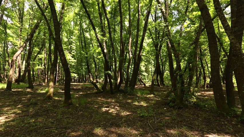 Morning in a birch forest | Shutterstock HD Video #23395480