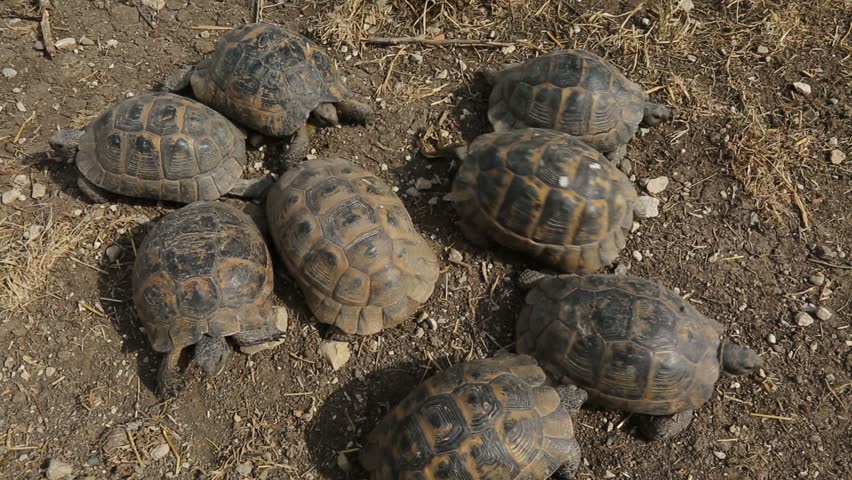 Tortoise. In natural habitats | Shutterstock HD Video #23399320