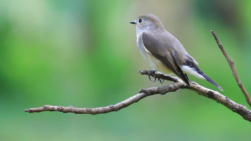 The bird eating a worm on a stick. ,Red-throated Flycatcher