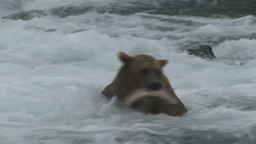 A Brown Bear catches and eats a salmon at the base of Brooks Falls in Alaska.