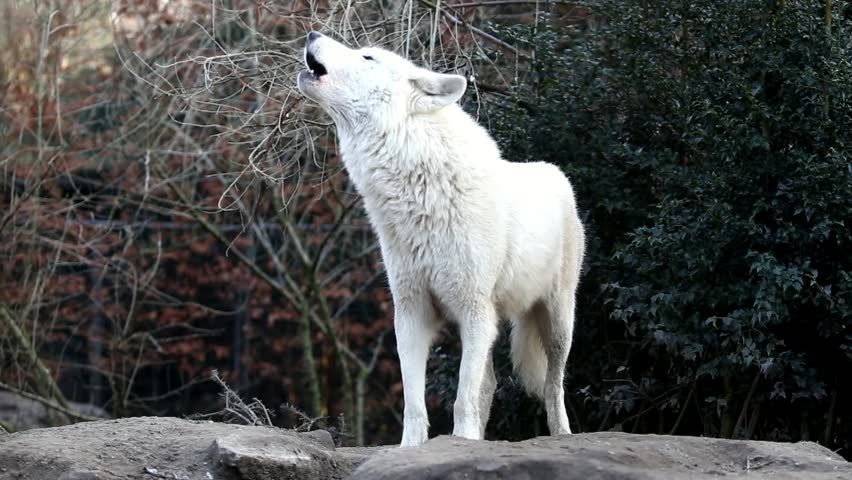 Howling white wolf stock footage video 100 royalty free - Wolf howling hd ...