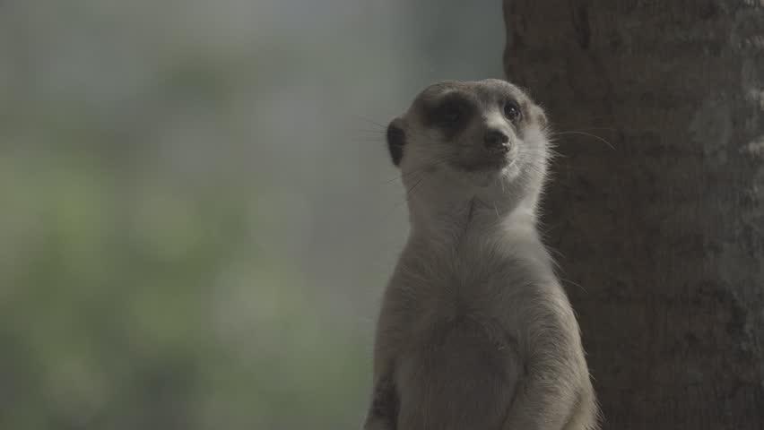 Little brown meerkat alert watch out for danger : 4K Ungraded flat profile Log file out of camera | Shutterstock HD Video #23545510