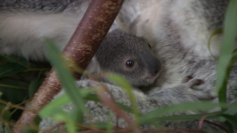 Cute baby koala in a tree