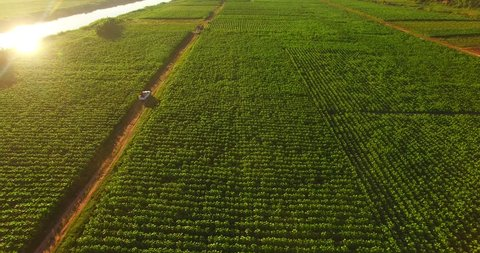 Aerial view of tobacco plantation grown on the Khong riverside land in countryside of THAILAND