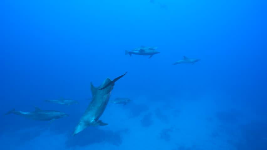 Bottle nose dolphin, underwater shot - Pacific Ocean, Roca Partida