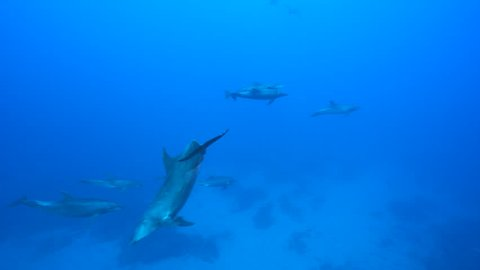 Bottle nose dolphin, underwater shot - Pacific Ocean, Roca Partida