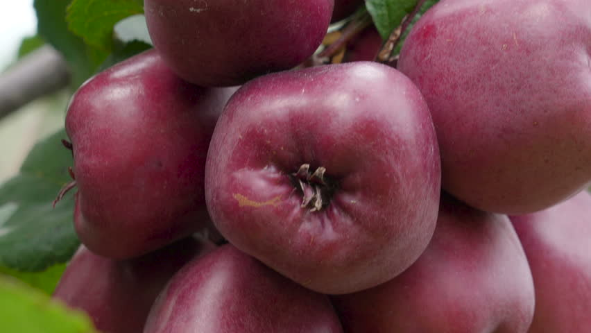 Rose Apple Fruit Images