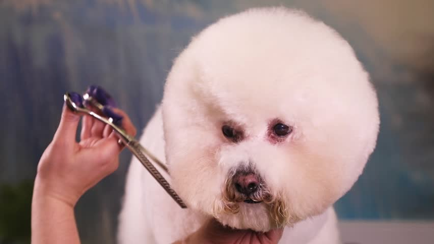 Groomer using thinning shears to cut hair from muzzle of Bichon Frise