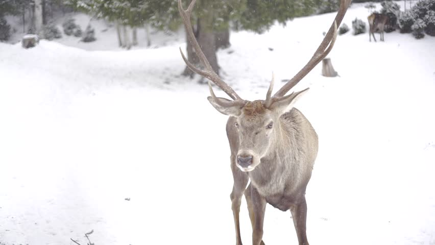 Red deer herd eating at feeder place in forest on snow. Wildlife in winter time