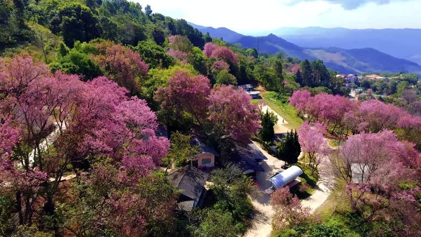Aerial view of the Thailand sakura