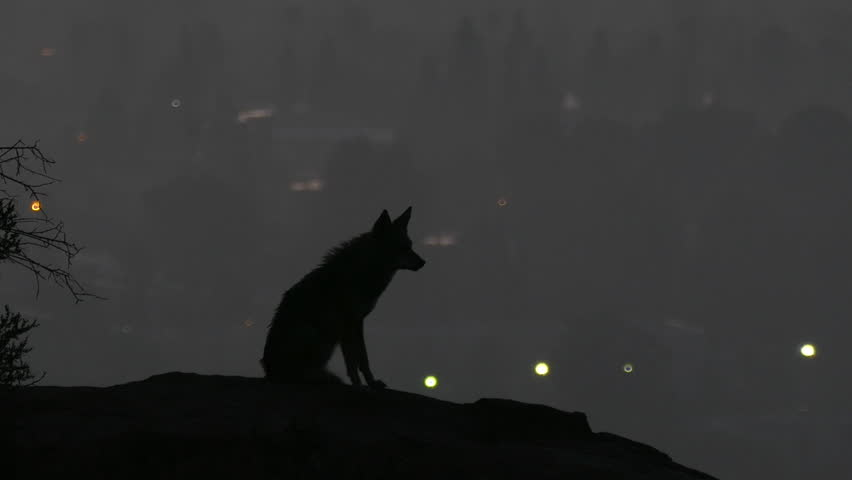 Howling coyote silhouetted in predawn light above the San Fernando Valley area of Los Angeles. | Shutterstock HD Video #23770180
