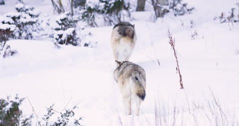 Two wolves in pack walking away in forest