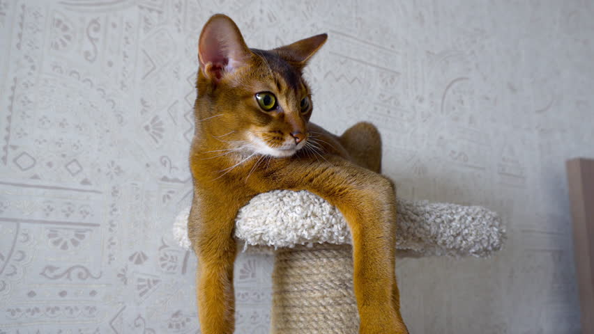 Abyssinian cat resting on the upholstered pedestal