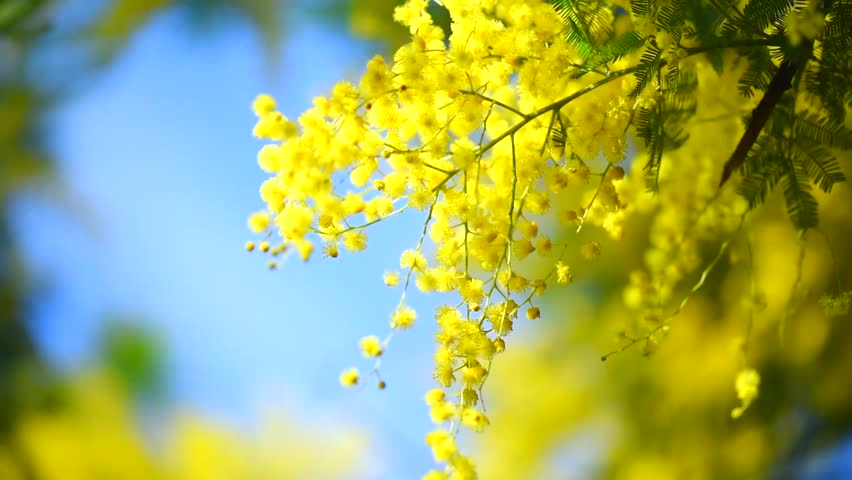 Mimosa Mimosa Spring Flowers Easter Stock Footage Video 100