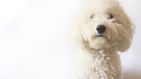 White poodle dog looking in camera on white background