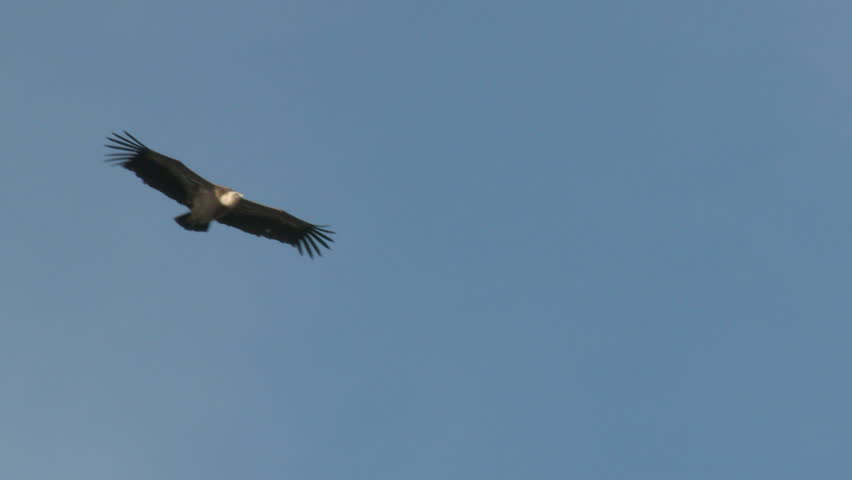Griffon vulture (Gyps fulvus)  in flight low angle view, seen from underside, Extramadura, Spain.