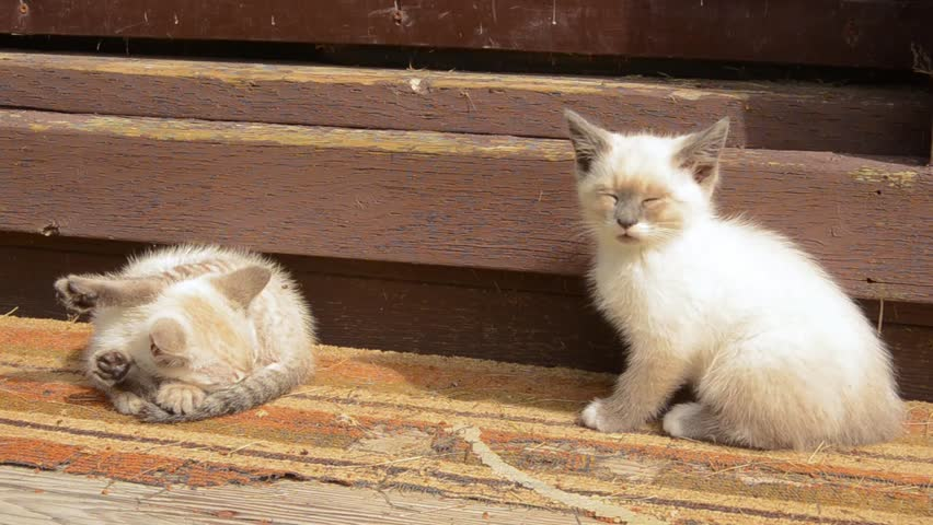 Feral siamese cross kittens playing in the sun on old shed steps | Shutterstock HD Video #23991463