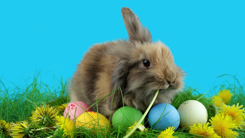 Brown Easter bunny eating a dandelion, sitting near Easter eggs, green grass with dandelions, on blue chroma key | Shutterstock Video #24045250