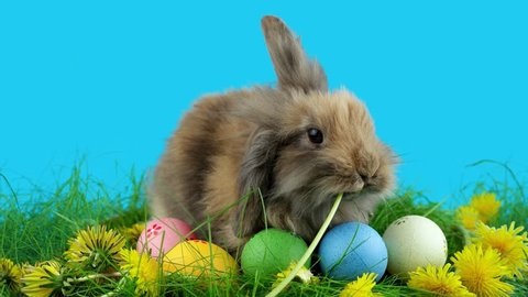 Brown Easter bunny eating a dandelion, sitting near Easter eggs, green grass with dandelions, on blue chroma key