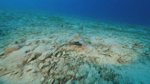stingray swimming  underwater sandy bottom
