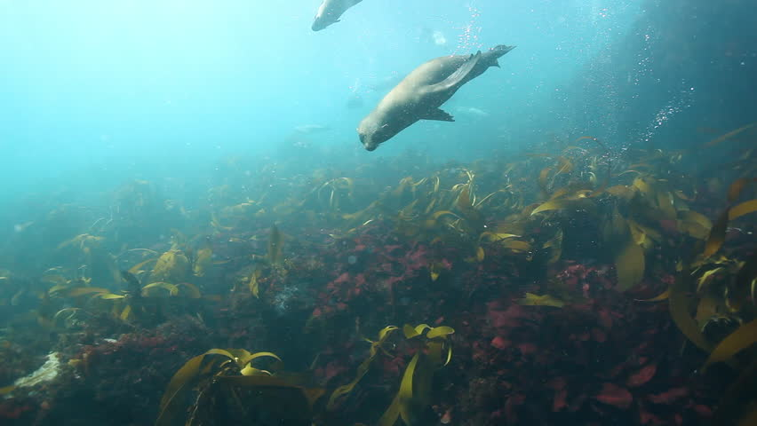 Cape Fur Seal Footage Stock Clips